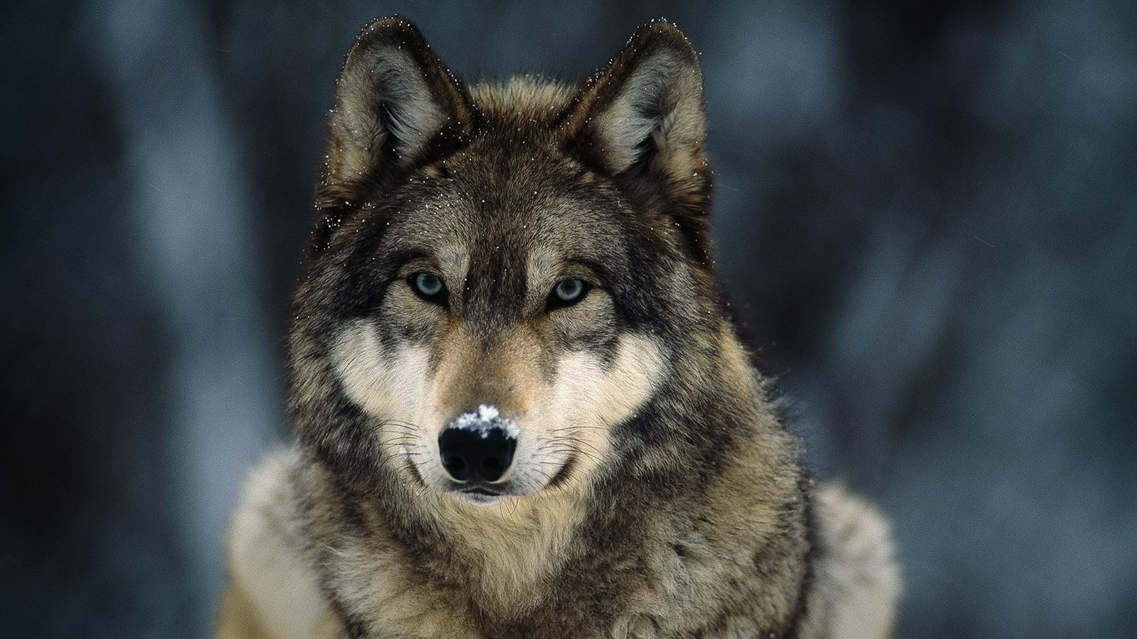 Gray_Wolf_Maya